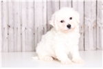 Toby - Male Bichon Frise | Puppy at 10 weeks of age for sale
