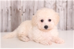 Picture of Biscuit - Male Bichon Frise