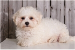 Picture of Alan - Male ACA Bichon Frise