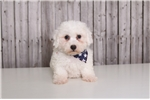 Picture of Banjo - Male Bichon Frise