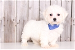 Rowdy - Male Bichon Frise | Puppy at 10 weeks of age for sale