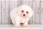 Picture of Snowflake - Female Bichon Frise