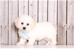 Felix - Male Bichon Frise | Puppy at 11 weeks of age for sale