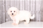 Picture of Rufus - Male Bichon Frise