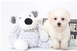 Picture of Aspen- Male Bichon Puppy