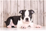 Picture of Target - Male Boston Terrier