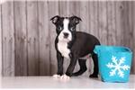 Boston Terrier for