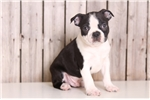 Picture of Lester - Male Boston Terrier