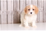 Jackie - Female Cavachon | Puppy at 15 weeks of age for sale
