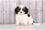 Picture of Candy - Female Cavachon