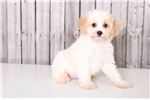 Picture of Mighty - Male Cavachon