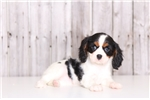 Picture of Sally - Female ACA Cavalier King Charles