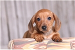 Picture of Brody - Male ACA Mini Dachshund