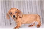 Picture of Marlow - Male ACA Mini Dachshund