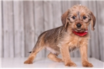 Picture of Scooter - Male Dorkie