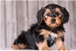 Picture of Norman - Male Dorkie