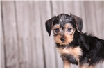 Picture of Violet - Female Dorkie