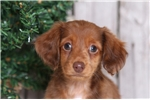 Picture of Melody - Female Long Haired Dachshund