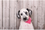 Picture of Penny - Female Dalmatian Puppy