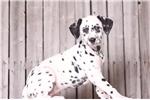 Picture of Sadie - Female AKC Dalmatian