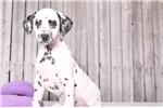 Picture of Jett- Male AKC Dalmatian