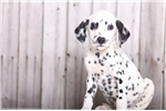Lucky - Adorable Male AKC Dalmatian | Puppy at 11 weeks of age for sale