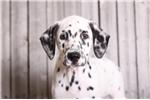 Picture of Dipper - Male AKC Dalmatian