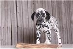 Picture of Hunter - Male AKC Dalmatian