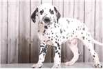 Dozer - Male AKC Dalmatian | Puppy at 11 weeks of age for sale