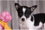 Picture of Melina - Female Toy Fox Terrier