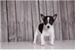 Picture of Fortune - Female Toy Fox Terrier