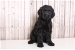 Picture of Willy - Male Goldendoodle