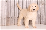 Picture of Bandit - Male Goldendoodle