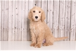 Picture of Slater - Male Goldendoodle