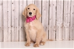Picture of Cookie - Female Goldendoodle