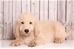 Picture of Sparky - Male Goldendoodle