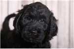 Picture of Hansen - Male Goldendoodle