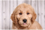 Picture of Percy - Male Goldendoodle