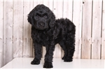 Picture of Homer - Male Goldendoodle