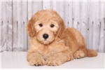 Picture of Sassy - Female Goldendoodle