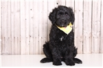 Picture of Missy - Female Goldendoodle