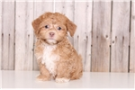Picture of Beau - Male Havanese