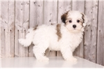 Picture of Romeo - Male Havanese
