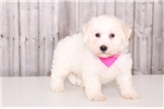 Picture of Bambi - Female Havanese