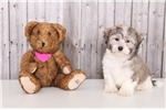 Picture of Dolly - Female Havanese