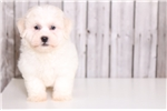 Picture of Bart - Male Havanese