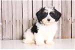 Picture of Manny - Male Lhasa Poo