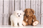 Picture of Mickey - Male Lhasa Poo