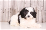 Picture of Boone - Male Lhasa Poo