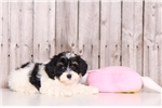 Picture of Buttercup - Female Lhasa Poo